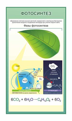 стенд для кабинета биологии фазы фотосинтеза