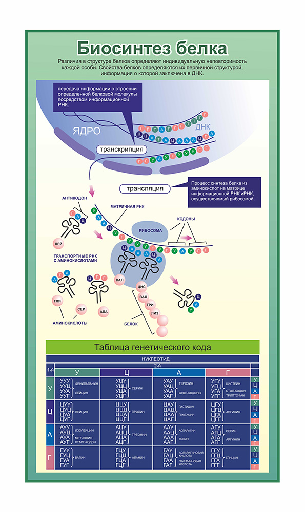 Стенд биосинтез белка
