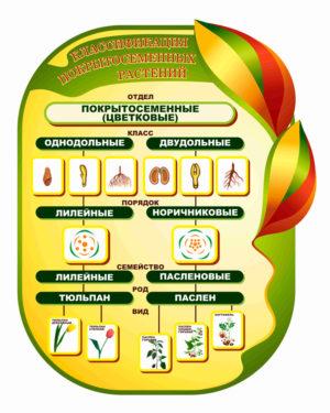 Классификация покрытосеменных растений макет